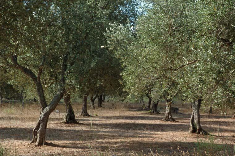 Puglia Olive GRove
